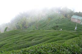 artisanal tea farm