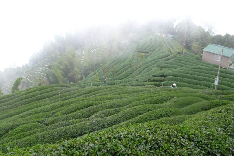 artisanal tea farm